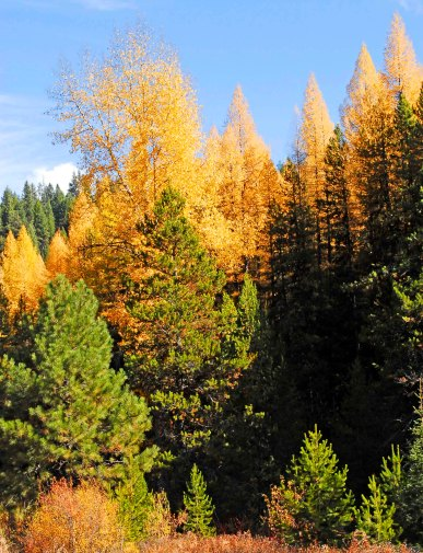 Tamarack Trees in central Oregon