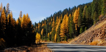 Tamarack trees in Oregon