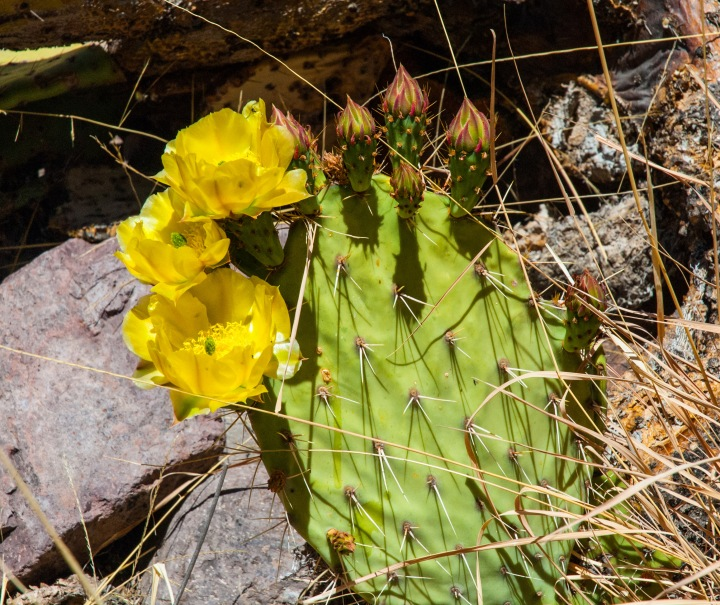 Prickly pear bloom 2