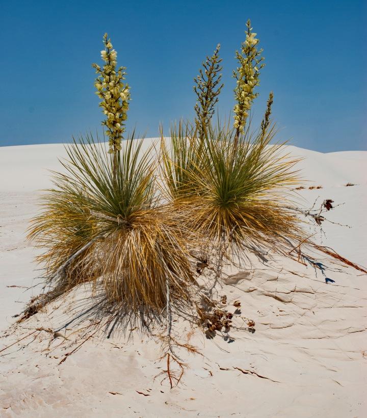 Yucca group 1