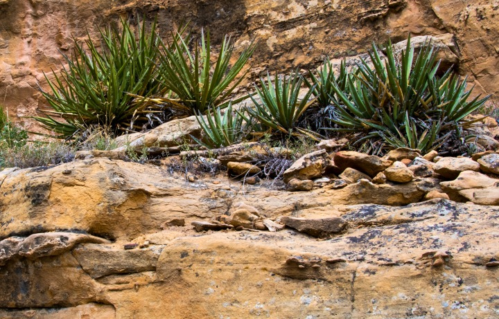 Cliff yucca wp
