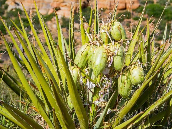 Yucca fruit wp
