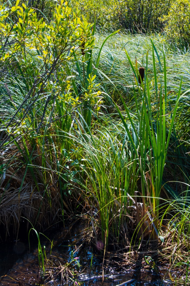 Marsh grass wp