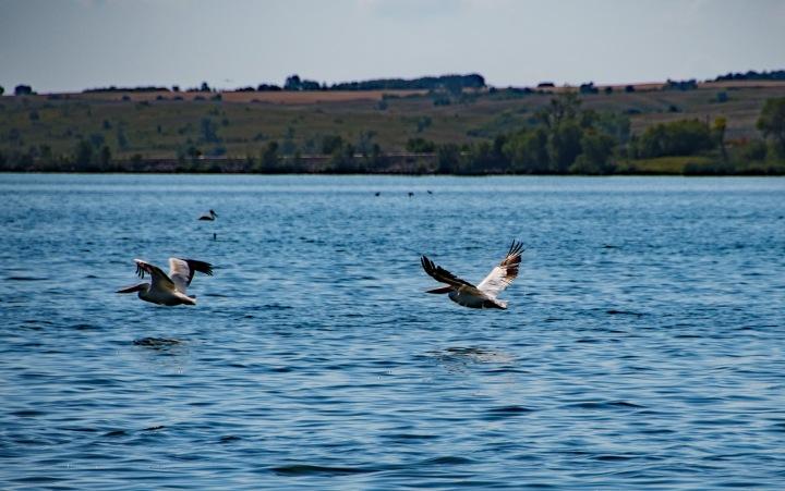 Pelicans 1wp
