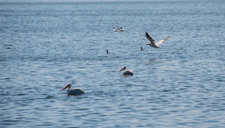 Pelicans 3wp