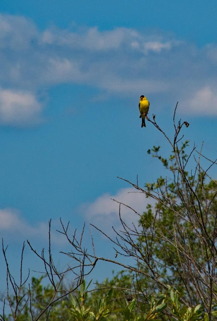 Yellow bird 1 wp