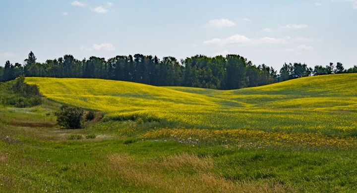 Yellow fields - Manitoba wp