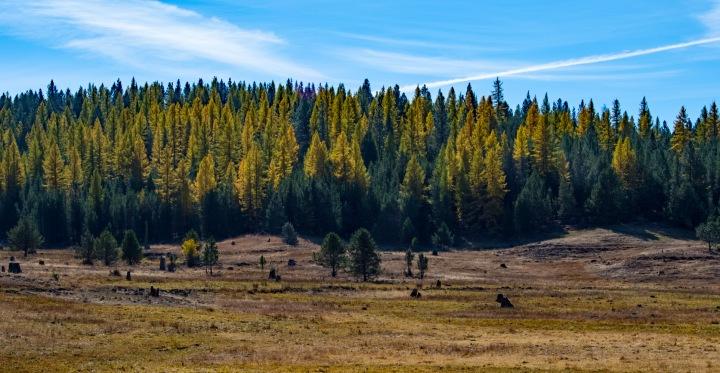 Tamarack trees 2 wp