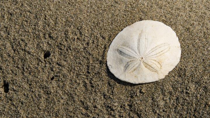 Sand Dollar wp