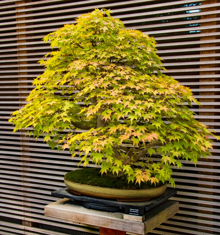 Japanese Maple wp