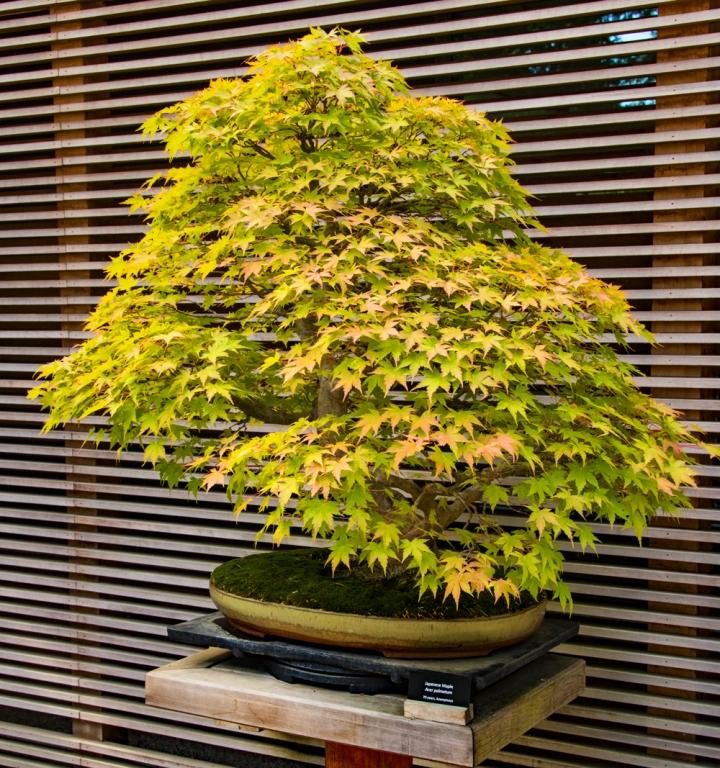 Japanese Maple wp