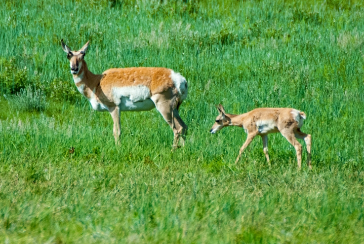 Pronghorn mom and baby wp