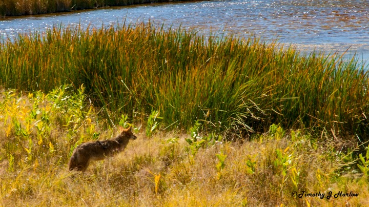 Coyote wp