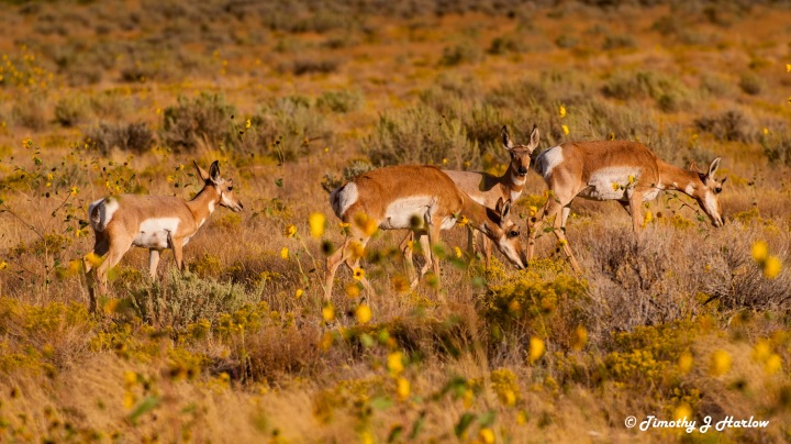 Pronghorn herd wp