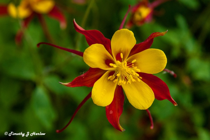 Red Columbine 1 wp